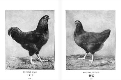 1915 Buckeye cock bird and hen