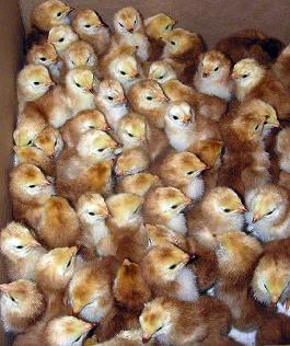 A box of day old Buckeye chicks